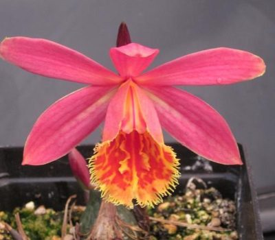 Read more about How to care for Pleione Orchids