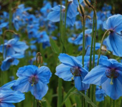 Read more about Growing Meconopsis from Seed