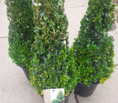 Read more about Buxus pyramids